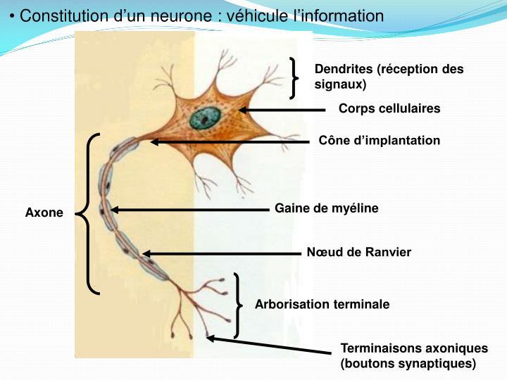 Constitution d'un neurone : véhicule l'information