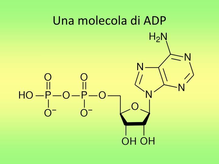 Una molecola di ADP