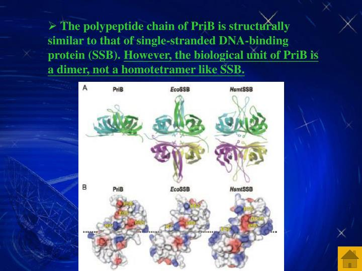 The polypeptide chain of PriB is structurally similar to that of single-stranded DNA-binding protein (SSB).