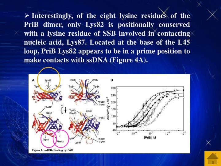 Interestingly, of the eight lysine residues of the PriB dimer, only Lys82 is positionally conserved with a lysine residue of SSB involved in contacting nucleic acid, Lys87. Located at the base of the L45 loop, PriB Lys82 appears to be in a prime position to make contacts with ssDNA (Figure 4A).