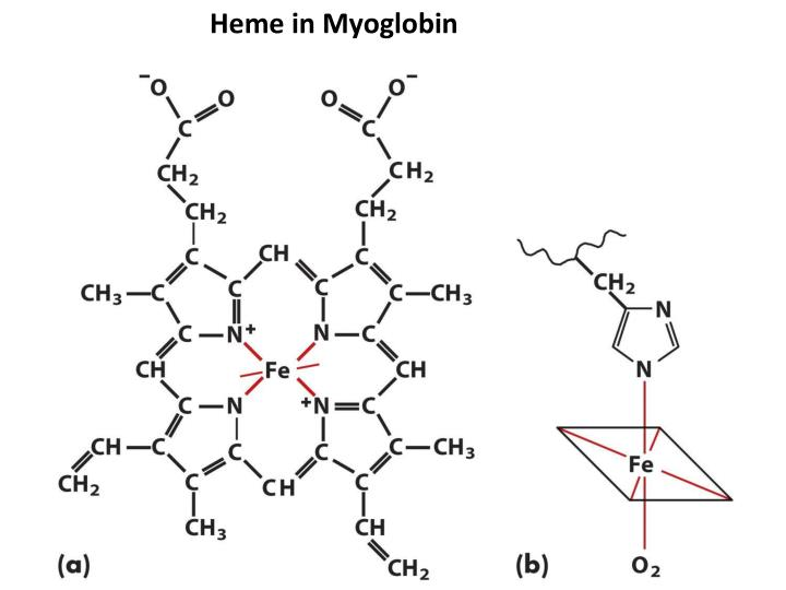 Heme in Myoglobin