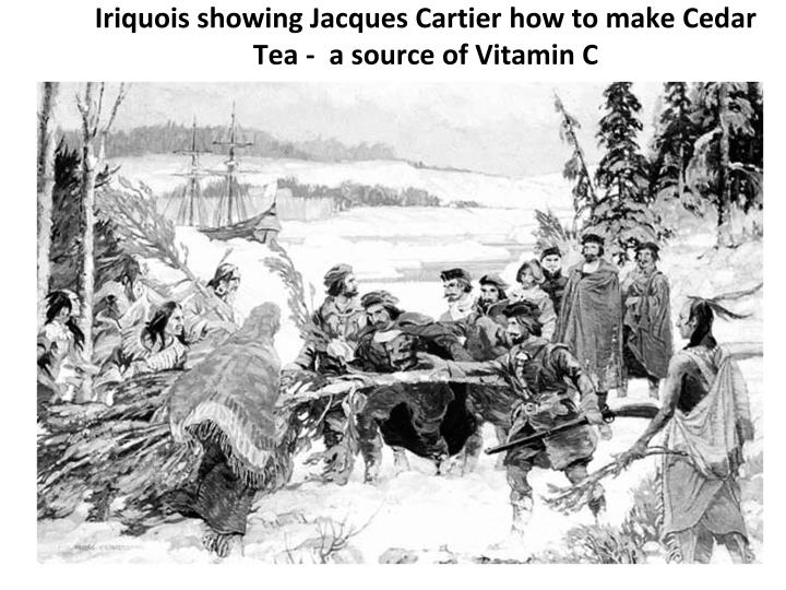 Iriquois showing Jacques Cartier how to make Cedar Tea -  a source of Vitamin C