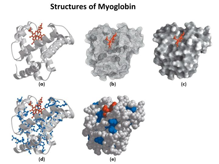 Structures of Myoglobin