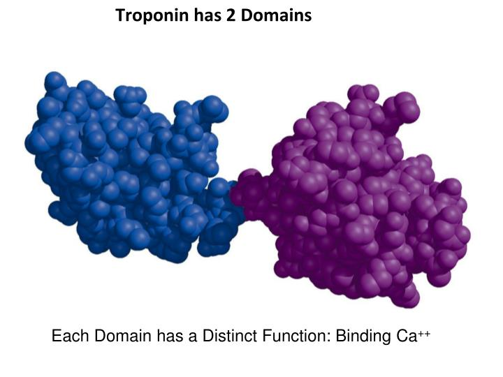 Troponin has 2 Domains