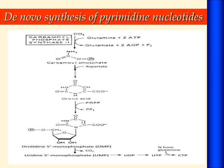De novo synthesis of pyrimidine nucleotides