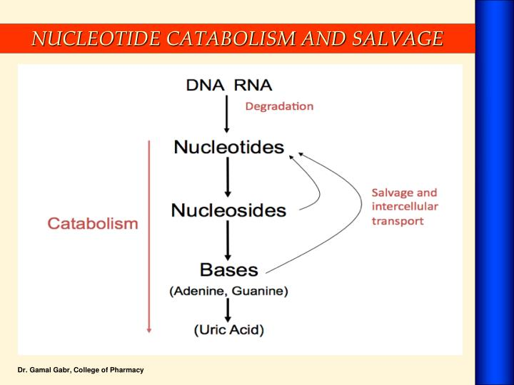 NUCLEOTIDE CATABOLISM AND SALVAGE