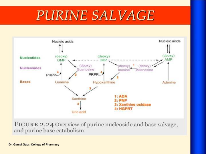 PURINE SALVAGE