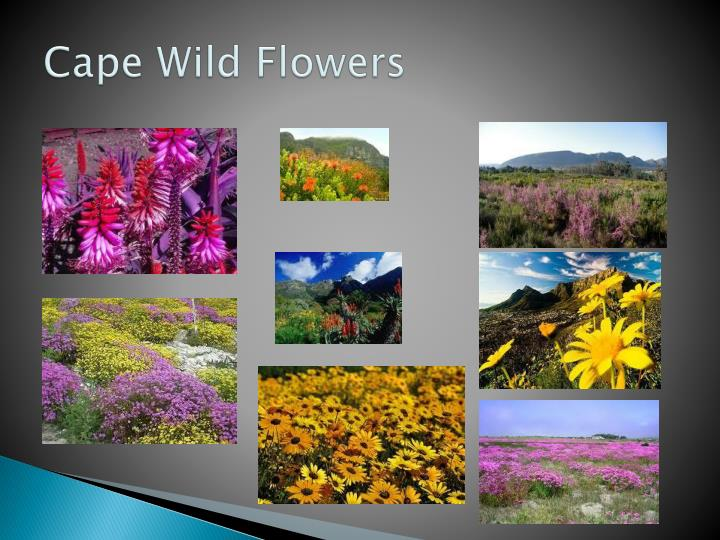 Cape Wild Flowers