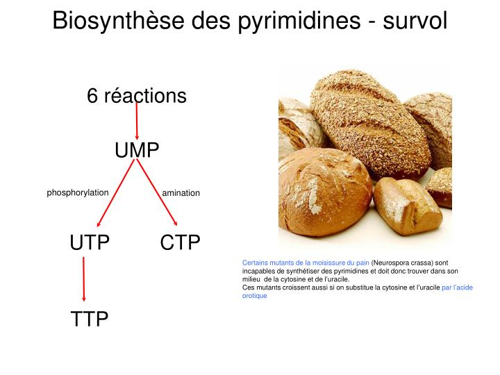 Biosynthèse des pyrimidines - survol