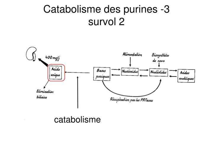 Catabolisme des purines -3