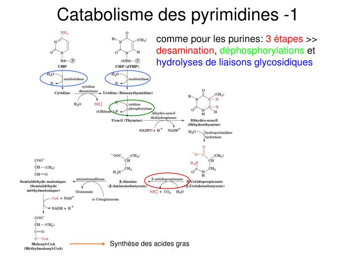 Catabolisme des pyrimidines -1