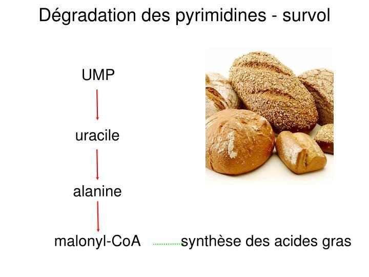 Dégradation des pyrimidines - survol