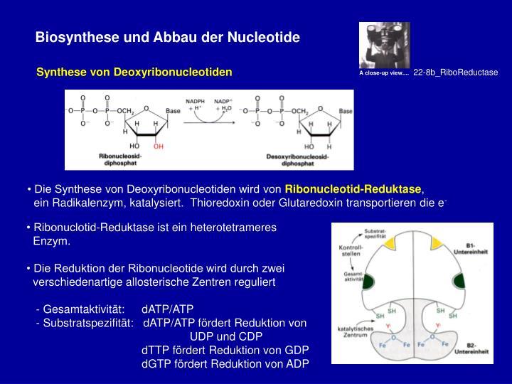 • Die Synthese von Deoxyribonucleotiden wird von