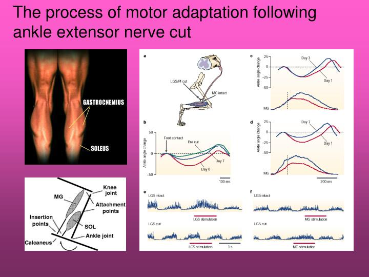 The process of motor adaptation following ankle extensor nerve cut