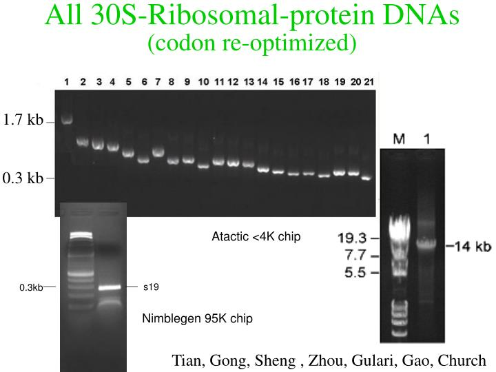 All 30S-Ribosomal-protein DNAs
