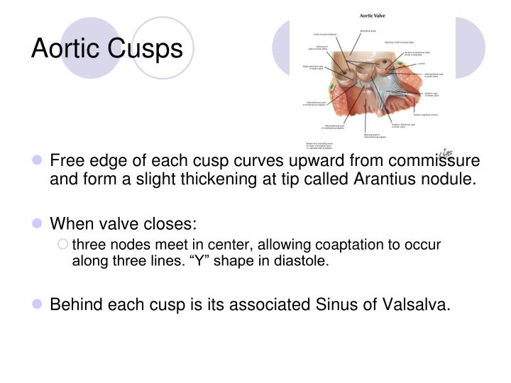 Aortic Cusps