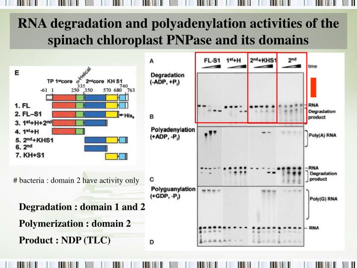 RNA degradation and polyadenylation activities of the spinach chloroplast PNPase and its domains