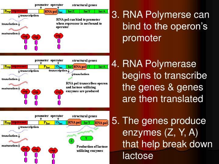 3. RNA Polymerse can