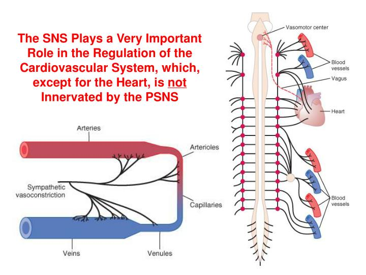 The SNS Plays a Very Important Role in the Regulation of the Cardiovascular System, which, except for the Heart, is