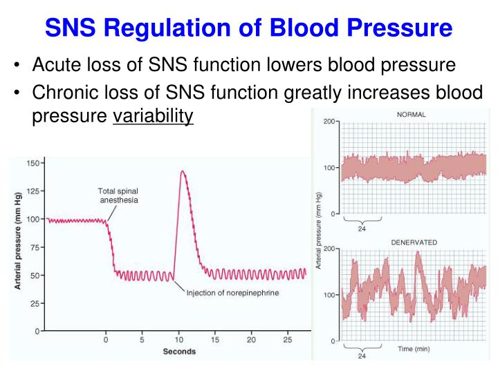 SNS Regulation of Blood Pressure