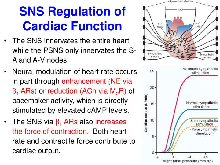 SNS Regulation of Cardiac Function