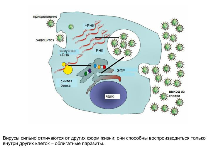 Вирусы сильно отличаются от других форм жизни; они способны воспроизводиться только внутри других клеток – облигатные паразиты.