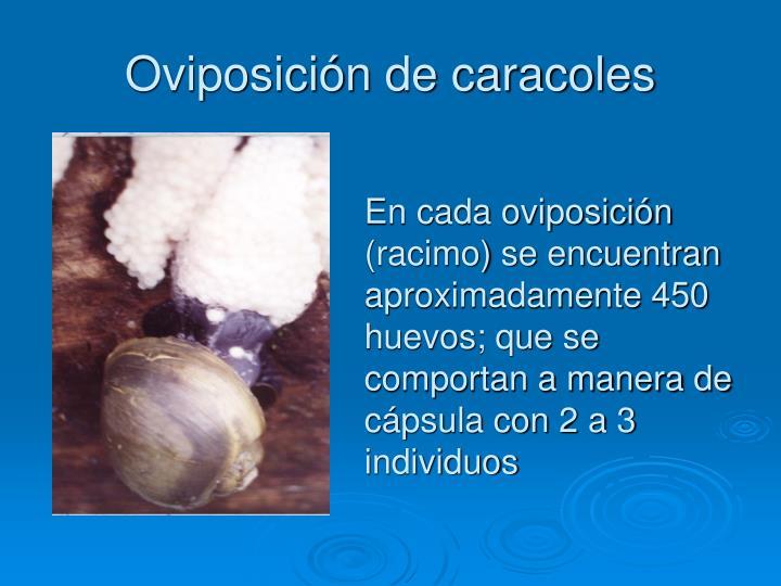 Oviposición de caracoles