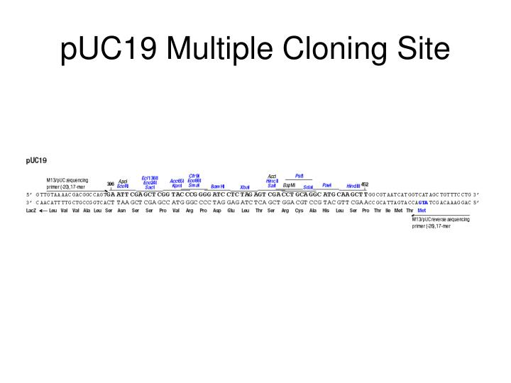 pUC19 Multiple Cloning Site
