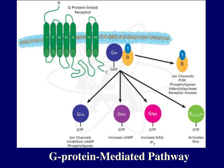 G-protein-Mediated Pathway