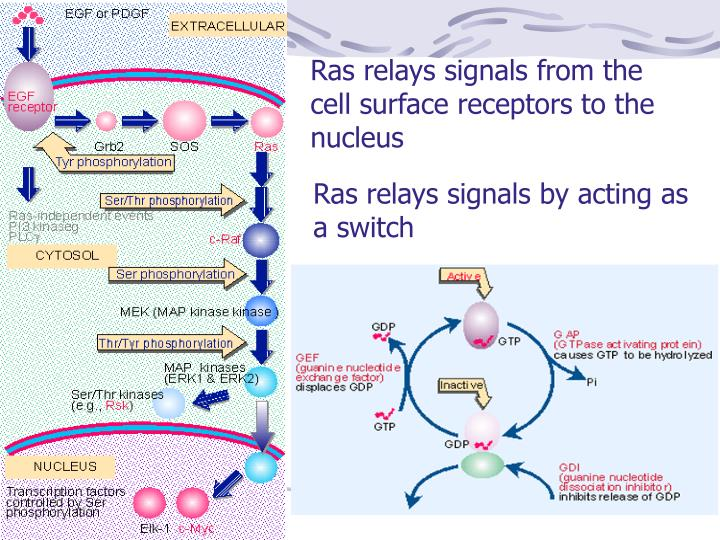 Ras relays signals from the cell surface receptors to the nucleus