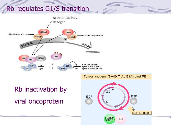 Rb regulates G1/S transition