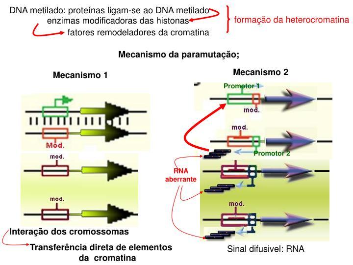 formação da heterocromatina