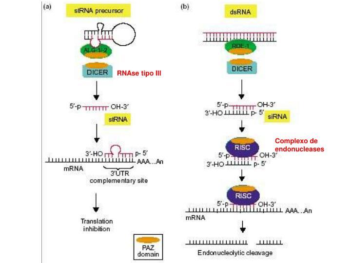 RNAse tipo III