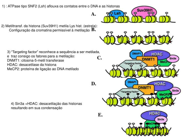 1) : ATPase tipo SNF2 (Lsh) aflouxa os contatos entre o DNA e as histonas