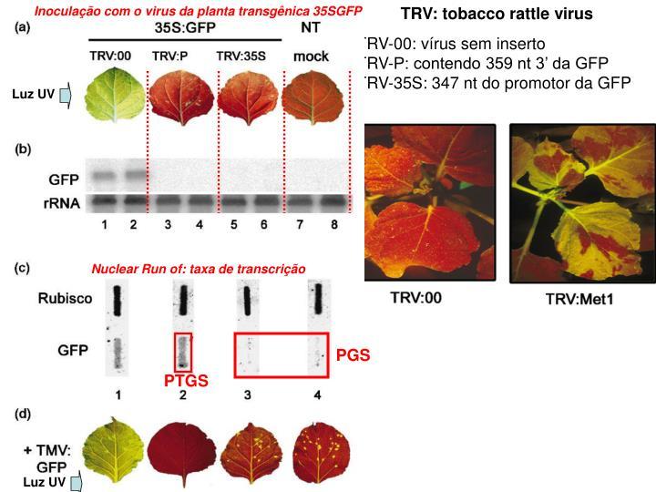 Inoculação com o virus da planta transgênica 35SGFP