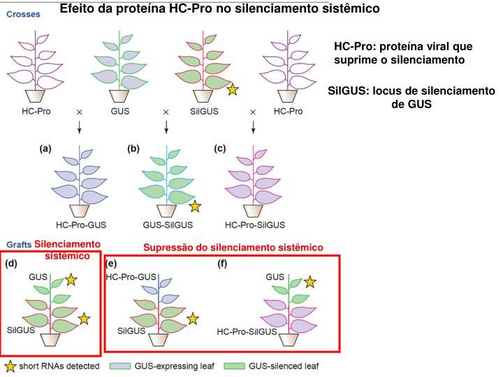 Efeito da proteína HC-Pro no silenciamento sistêmico