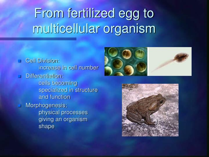 From fertilized egg to multicellular organism