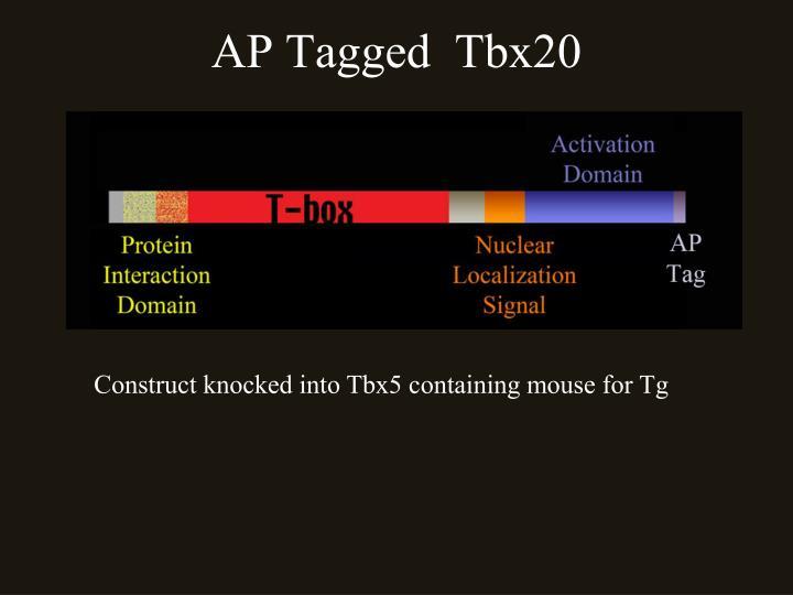 AP Tagged  Tbx20