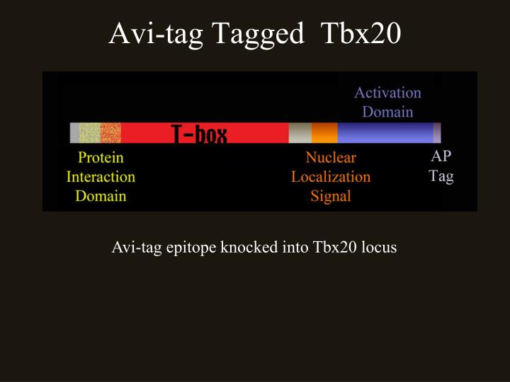 Avi-tag Tagged  Tbx20