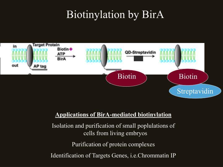 Biotinylation by BirA