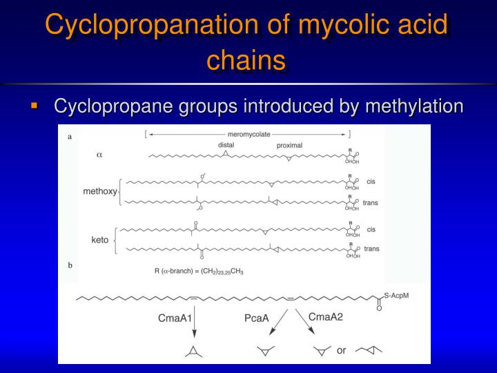 Cyclopropanation of mycolic acid chains