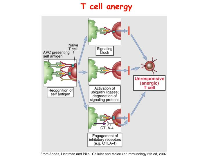 T cell anergy