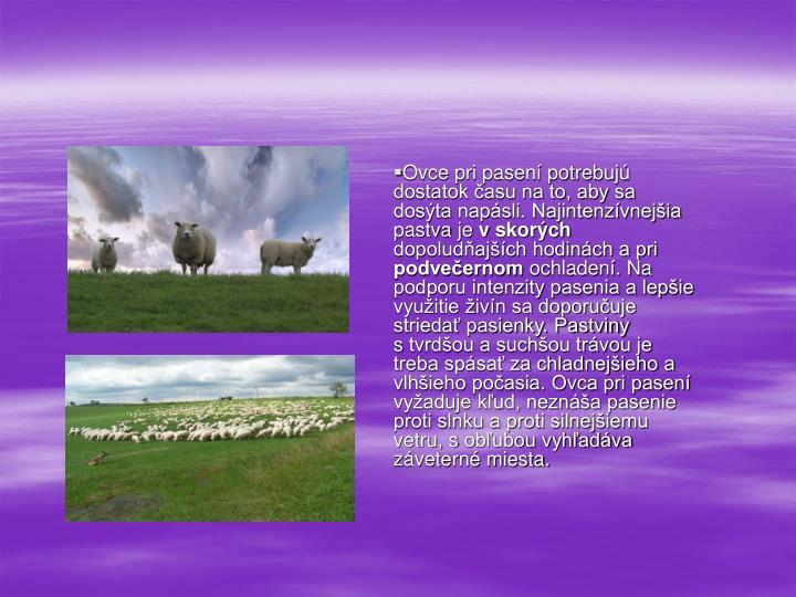 Ovce pri pasení potrebujú dostatok času na to, aby sa dosýta napásli. Najintenzívnejšia pastva je