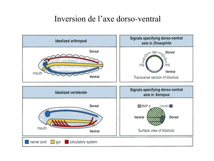 Inversion de l'axe dorso-ventral