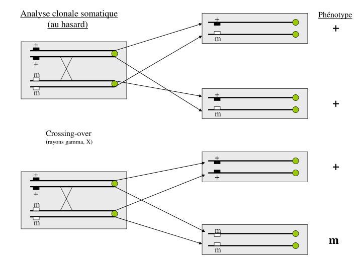 Analyse clonale somatique