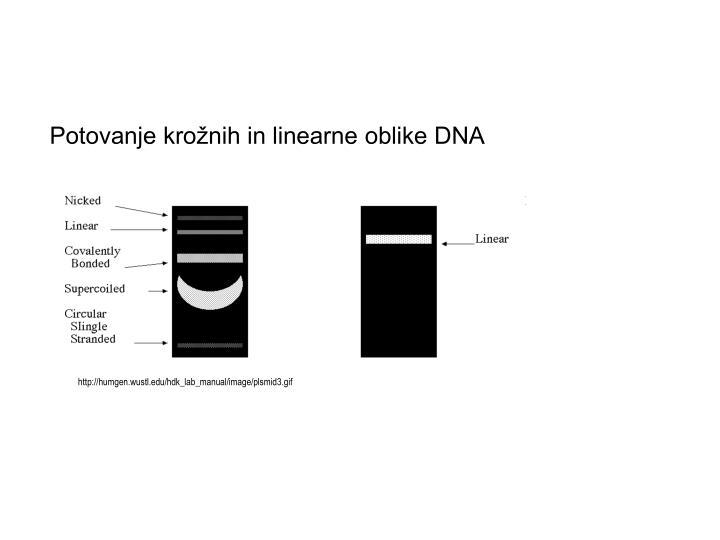 Potovanje krožnih in linearne oblike DNA
