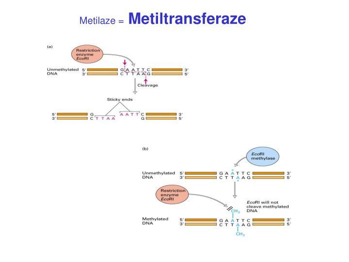 Metilaze =