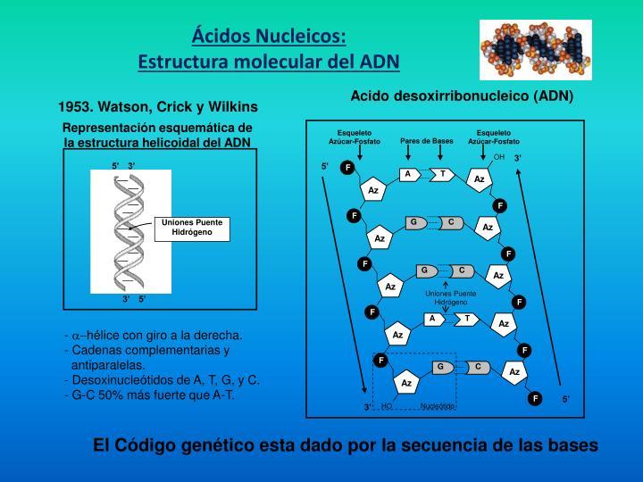 Acido desoxirribonucleico (ADN)