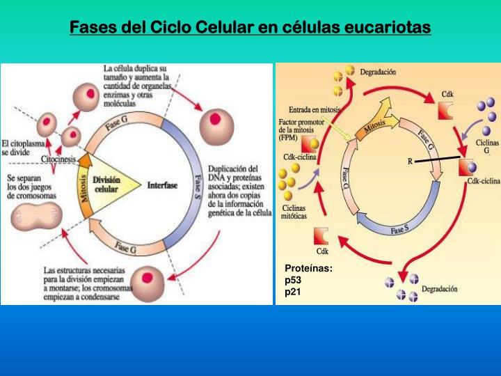 Fases del Ciclo Celular en células eucariotas