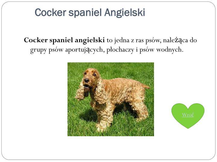 Cocker spaniel Angielski